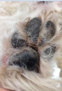 Paw with mat removed dermatitis