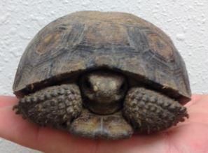 Desert Tortoise Snipped