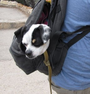 Freddie the backpacking dog 2015B