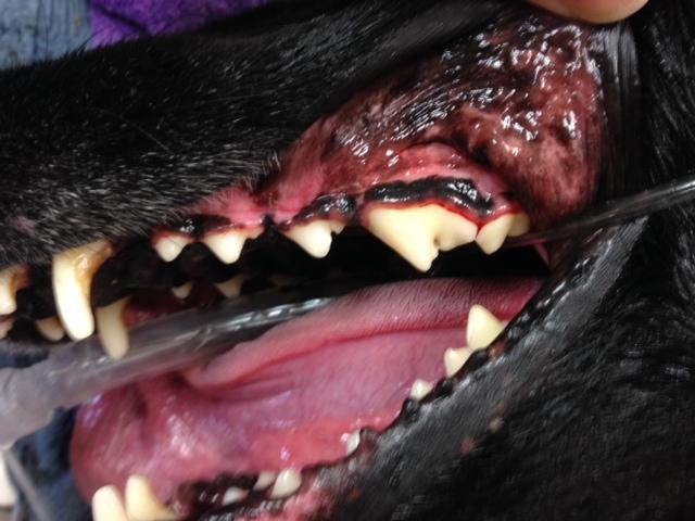 Treating Bleeding Gums In Dogs