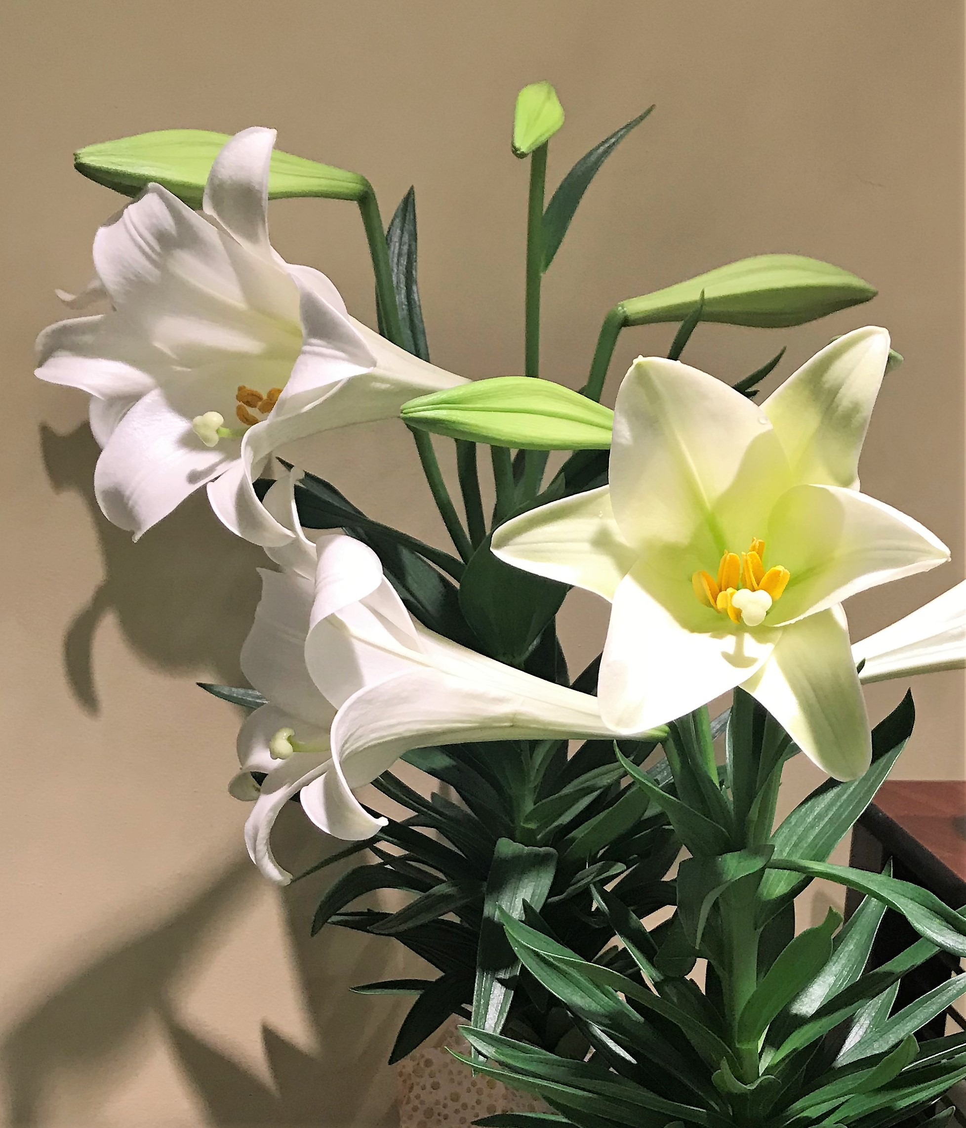 Lily Toxicity In Cats Dr Nelsons Veterinary Blog
